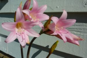 What Is Lilly Disease? How to Prevent?