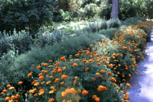 10 Reasons Why You Should Plant Marigolds in Your Vegetable Garden
